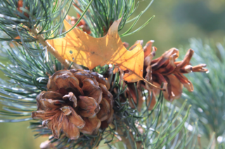 Decorate with pine cones