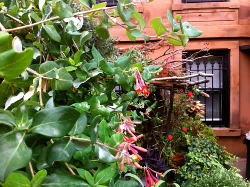 Honeysuckle growing in brownstone garden