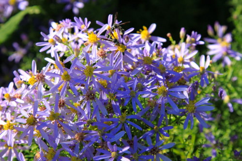 Beneficial insects attracted to asters