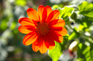 Orange sunflower Tithonia