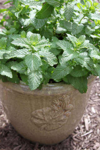 grow mint in a container
