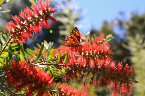 Bottlebrush shrub is a butterfly magnet
