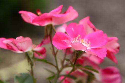 pink landscape roses