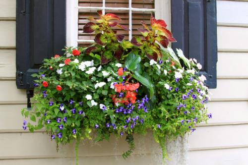 window box with torenia, impatiens, coleus
