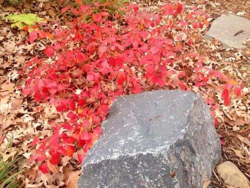"Fragrant sumac 'Gro Low"", fall color"