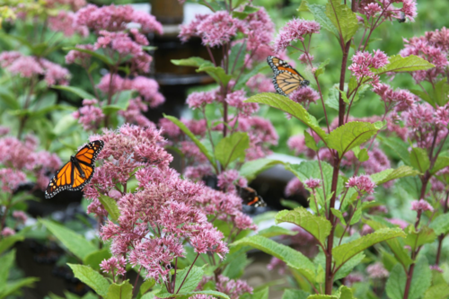 Eupatorium, Joe Pye Weed, monarch butterflies, bees
