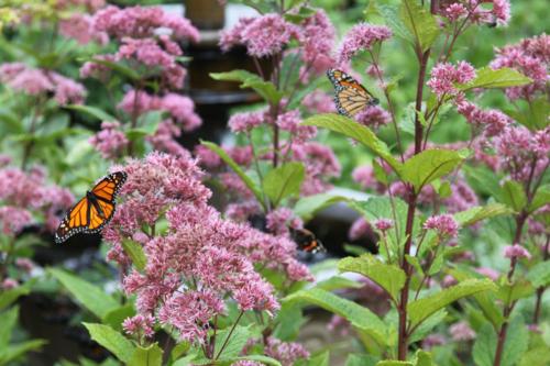 Eupatorium, Joe Pye Weed, monarch butterflies, bees