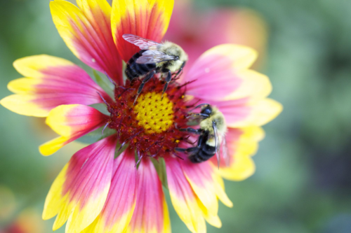 Gaillardia, blanket flower, bumblebees
