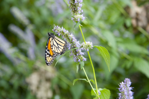 Anise hyssop, agastache foeniculum, butterflies, bees