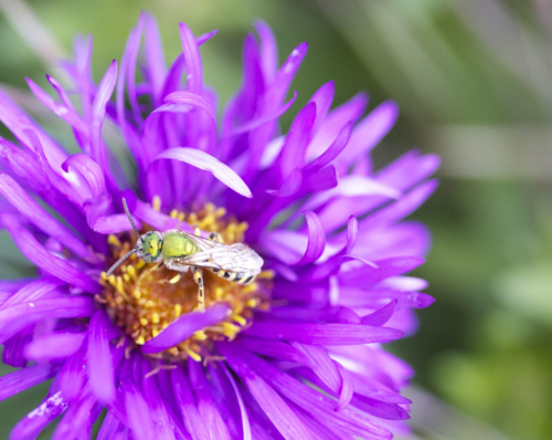 Green sweat bee on native aster
