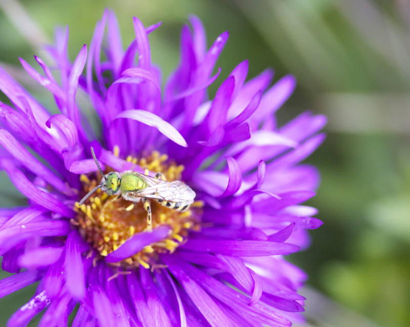 Green sweat bee on purple aster