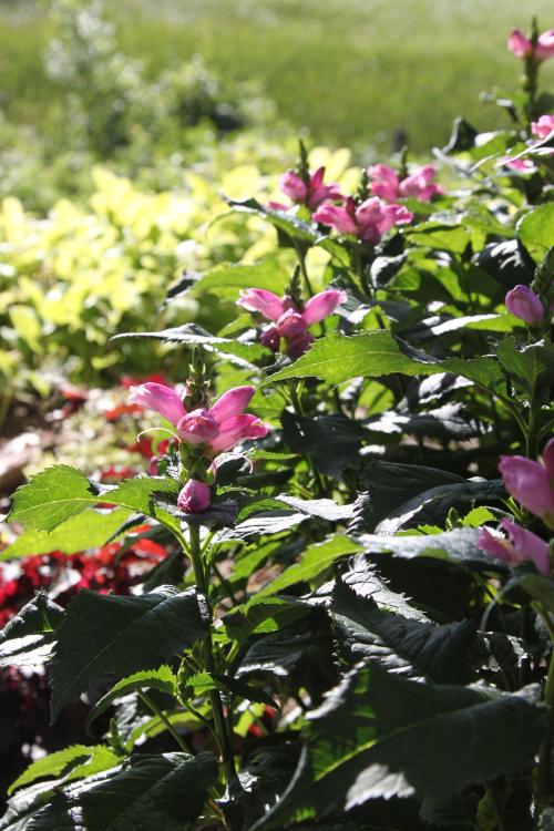 Chelone lyonii, pink turtlehead, bees