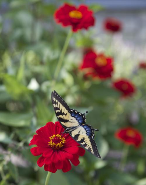 "zinnias, heirloom, ""Moulin rouge"", butterflies, swallowtail, yellow, red"