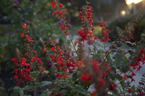 """Salvia coccinea"", ""Texas sage"", salvia, sage, red, hummingbirds, flowers"
