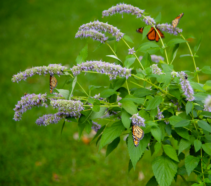 Anise Hyssop with butterflies and bees, monarchs, pollinators