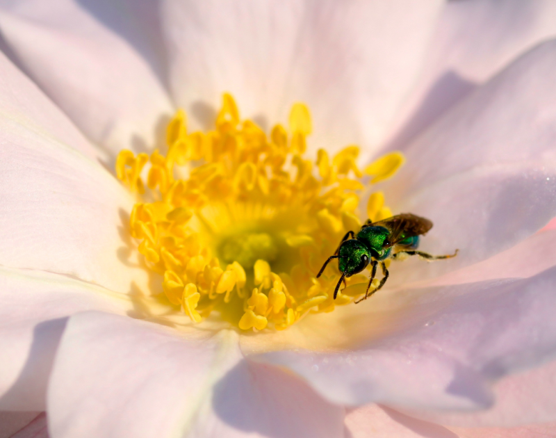 emerald green sweat bee on flower