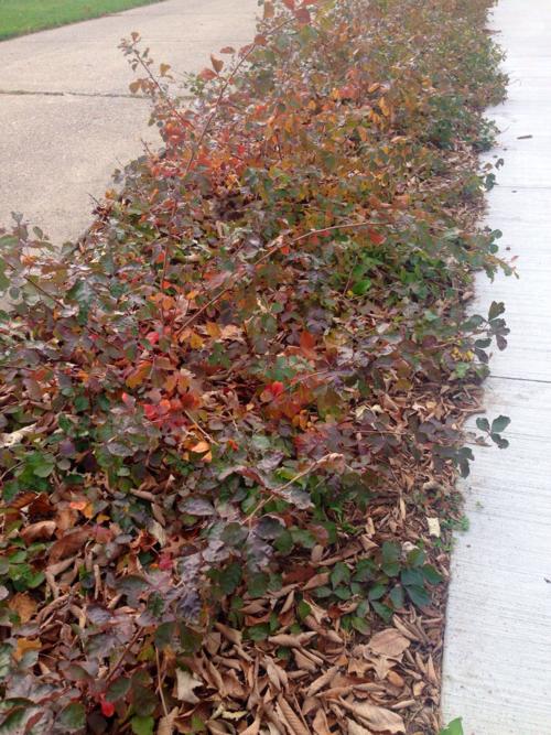 Long hedge of fragrant shrub