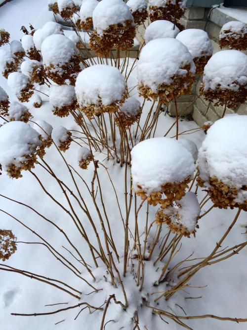 "Hydrangea ""Annabelle' with snow"