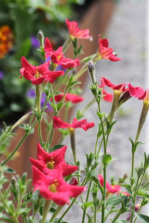 wild red petunia Exserta