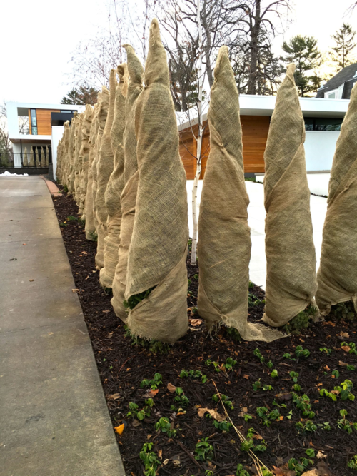 burlap wrapped evergreens, evergreen protection