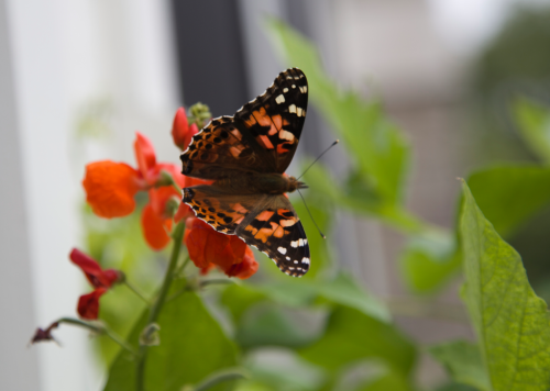 Painted Lady butterfly, scarlet runner bean blossom. migrating insects, butterflies