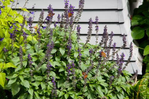 Painted lady butterflies, Salvia Mystic Spires, pollinators