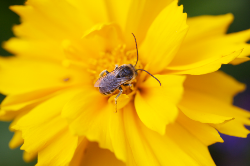 Long horned bee on coreopsis