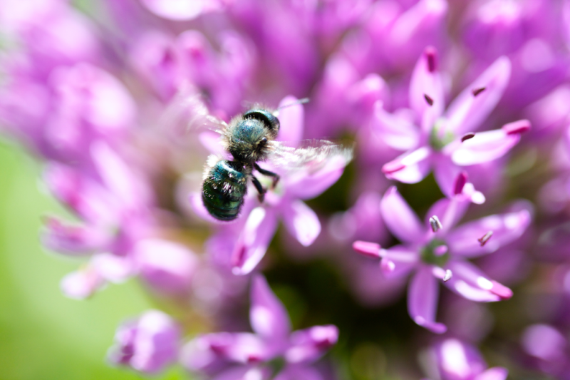 Blue orchard bee, mason bee