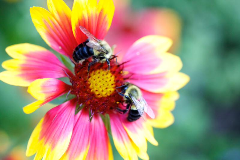 Bumblebees on gaillardia, blanket flower